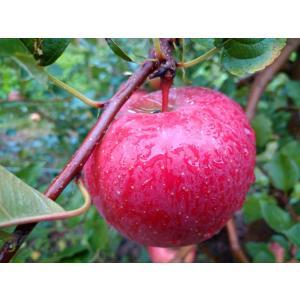 【青果・リンゴ】サンフジ 5kg(家庭用 14〜20個 出荷時期:11月中下旬頃〜) digisco-ya