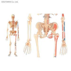 立体パズル 4D VISION 人体解剖モデル No.08 全身骨格解剖モデル アオシマ/スカイネット(ZG33078)|digitamin