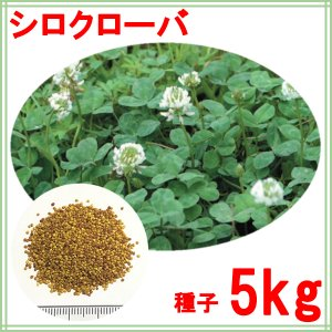 種子ホワイトクローバー5kg |donoubukuro