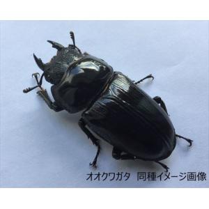 オオクワガタ(長崎県産)ワイルド ♀35mm 単品