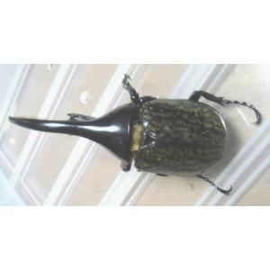 D.H.モリシマイ(エクアドル産) オス110〜120ミリ(単品)|dorukusu