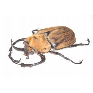 エレファスゾウカブト ♂110ミリペア(メスフリーサイズ)|dorukusu