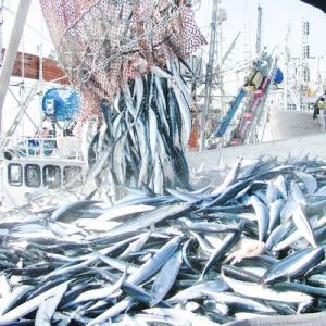 (送料無料 生サンマ 北海道産)根室 釧路(大 浜呼び名)4kg前後30尾前後(獲れたて 生さんま 水揚げ日に空輸で翌日着 日帰りトロさんま 最高級 秋刀魚)|dosanko-factory|11