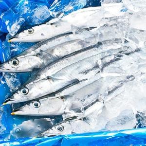 (送料無料 生サンマ 北海道産)根室 釧路(大 浜呼び名)4kg前後30尾前後(獲れたて 生さんま 水揚げ日に空輸で翌日着 日帰りトロさんま 最高級 秋刀魚)|dosanko-factory|10