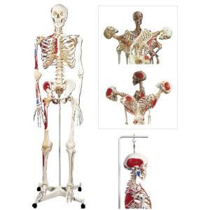 骨格モデル(脊柱可動型) A13(170CM/8.2KG) コッカクモデル(11-2000-00)【1台単位】|drmart