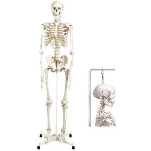 骨格モデル(標準型)吊り下げ仕様 コッカクモデル A10/1 (186CM/8.3KG)【1台単位】(11-2005-02)【1台単位】|drmart