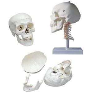 標準型頭蓋モデル(頚椎付) ズガイモデル A20/1 18X19X32CM【1台単位】(11-2025-00)【1台単位】|drmart