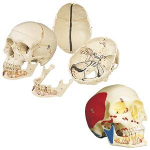 頭蓋・下顎開放型3分解モデル A22/120X13.5X15.5CM ズガイモデル(11-2030-01)【1台単位】|drmart