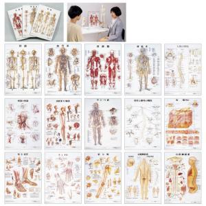 人体解剖学チャート(デスクサイズ) ジンタイカイボウガクチャート(11-2230-02)ラミネートバン骨格M【1枚単位】 drmart