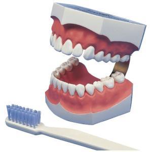 2倍大歯磨き指導用模型 12032-000(NNS3) ハミガキシドウモケイ(11-2765-00)【1台単位】|drmart