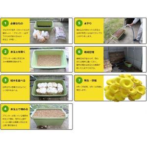 タモギタケ栽培キット 【たもぎたけの成る木(短...の詳細画像1