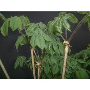 コシアブラ苗 全高30cm〜50cm以内 3本|ds-morioka