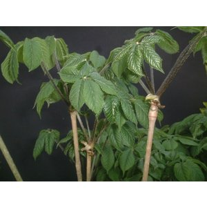 コシアブラ苗 全高30cm〜50cm以内 5本|ds-morioka