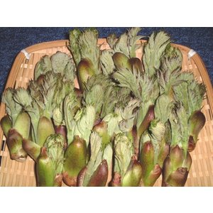 タラノ芽 Mサイズ 300g|ds-morioka