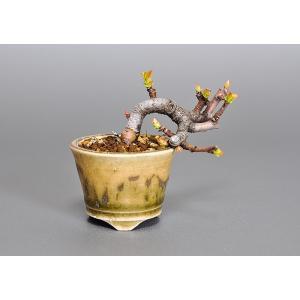 プチ盆栽 3597 カリン(かりん・花梨)盆栽|e-bonsai