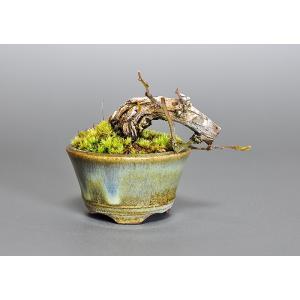 プチ盆栽 3599 クマヤナギ(くまやなぎ・熊柳)盆栽|e-bonsai