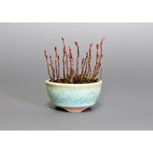 プチ盆栽 ナナカマド(ななかまど・七竃)盆栽 3651|e-bonsai