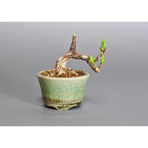 プチ盆栽 マユミ(まゆみ・真弓)盆栽 3652|e-bonsai