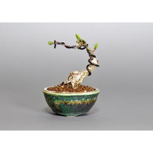 豆盆栽 マユミ盆栽(まゆみ・真弓 豆盆栽)3657|e-bonsai