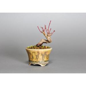豆盆栽 イロハモミジ盆栽(いろは紅葉 豆盆栽)3756|e-bonsai