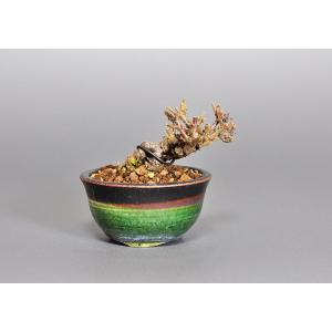 プチ盆栽 金華山ガマズミ(がまずみ・莢迷)盆栽 3768|e-bonsai