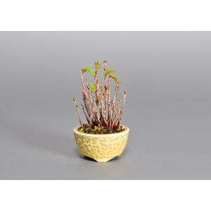 豆盆栽 ナナカマド盆栽(ななかまど・七竃 豆盆栽)3783|e-bonsai