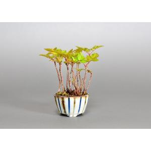 ミニ盆栽 ナナカマド盆栽 七竈(ななかまど・ミニ盆栽 七竈)3788 e-bonsai