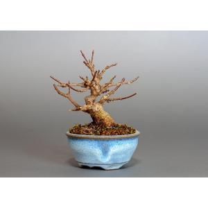 ミニ盆栽 トウカエデ盆栽 唐楓(とうかえで・ミニ盆栽 唐楓)3801|e-bonsai