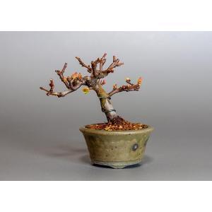 豆盆栽 カリン盆栽(かりん・花梨 豆盆栽)3802|e-bonsai