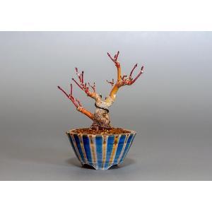 ミニ盆栽 イロハモミジ盆栽 紅葉(いろは紅葉・ミニ盆栽 紅葉)3803 e-bonsai