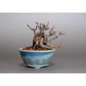 ミニ盆栽 カマツカ盆栽 鎌柄(かまつか・ミニ盆栽 鎌柄)3804 e-bonsai