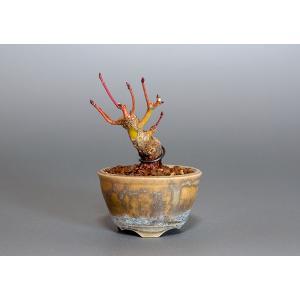 豆盆栽 イロハモミジ盆栽(いろは紅葉 豆盆栽)3805|e-bonsai