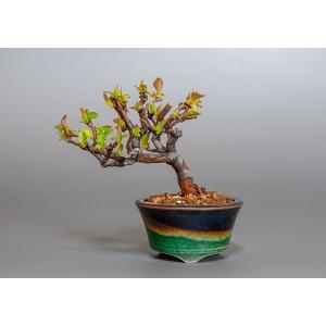 ミニ盆栽 カリン盆栽 花梨(かりん・ミニ盆栽 花梨)3806|e-bonsai