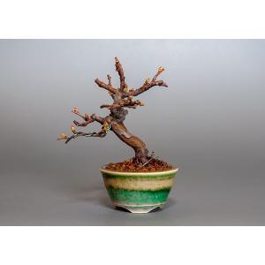 ミニ盆栽 カリン盆栽 花梨(かりん・ミニ盆栽 花梨)3808|e-bonsai
