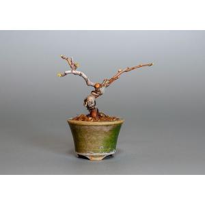 豆盆栽 カリン盆栽(かりん・花梨 豆盆栽)3809|e-bonsai