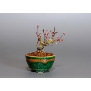 豆盆栽 イロハモミジ盆栽(いろは紅葉 豆盆栽)3813|e-bonsai