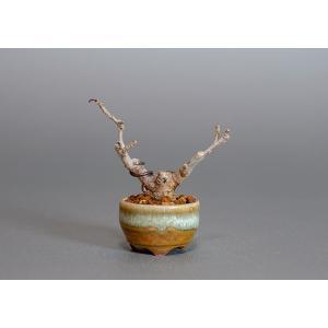 プチ盆栽 ウメモドキ(うめもどき・梅擬)盆栽 3816|e-bonsai