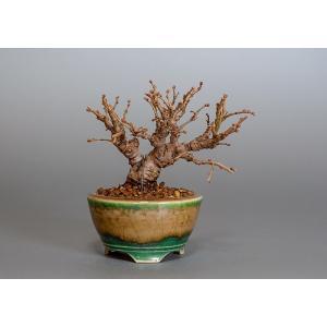 豆盆栽 ニレケヤキ盆栽(楡欅・にれけやき 小さな盆栽)3817|e-bonsai