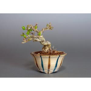 豆盆栽 荒皮性イボタノキ盆栽(水蝋の木・いぼたのき 小さな盆栽)3818|e-bonsai
