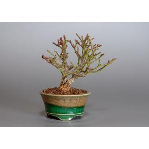 ミニ盆栽 コマユミ盆栽 三幹樹形(こまゆみ・ミニ盆栽 小真弓)3819|e-bonsai