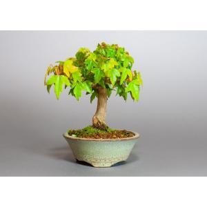 ミニ盆栽 トウカエデ盆栽 唐楓(かえで盆栽・ミニ盆栽 唐楓)3820|e-bonsai