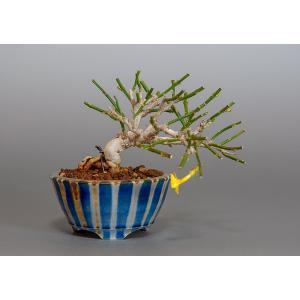 豆盆栽 オウバイ盆栽(黄梅・おうばい 小さな盆栽)3821|e-bonsai