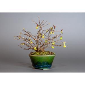 盆栽 ヒュウガミズキ盆栽 小品盆栽(日向水木 盆栽)3822|e-bonsai