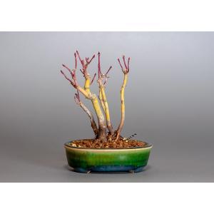 ミニ盆栽 イロハモミジ盆栽 5本寄せ植え 紅葉(いろは紅葉・小さな盆栽 紅葉)3825|e-bonsai