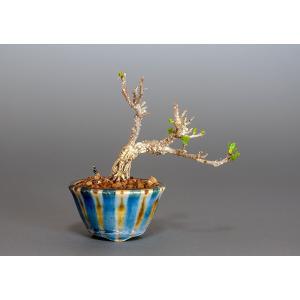 豆盆栽 ツルウメモドキ盆栽(つるうめもどき・照葉蔓梅擬 豆盆栽)3826|e-bonsai