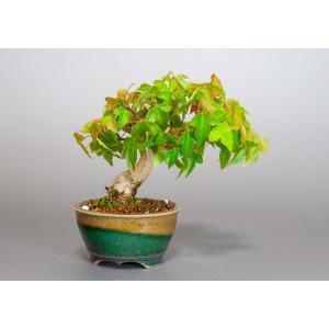 ミニ盆栽 トウカエデ盆栽 唐楓(かえで盆栽・ミニ盆栽 唐楓)3827 e-bonsai