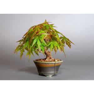 ミニ盆栽 イロハモミジ盆栽 紅葉(いろは紅葉・小さな盆栽 紅葉)3830|e-bonsai