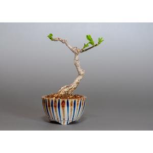 ミニ盆栽 荒皮性マユミ 真弓(まゆみ・小さな盆栽 真弓)3831|e-bonsai