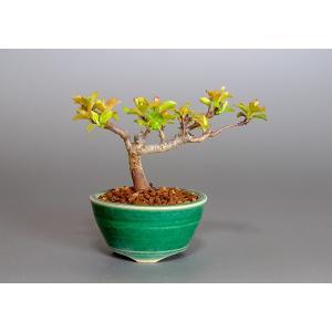 豆盆栽 キミズミ盆栽(きみずみ・黄実酢実 豆盆栽 小さな盆栽)3834|e-bonsai