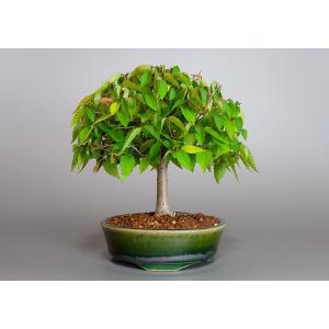 盆栽 ケヤキ盆栽 欅(けやき・ミニ盆栽 箒立ち欅)3837|e-bonsai